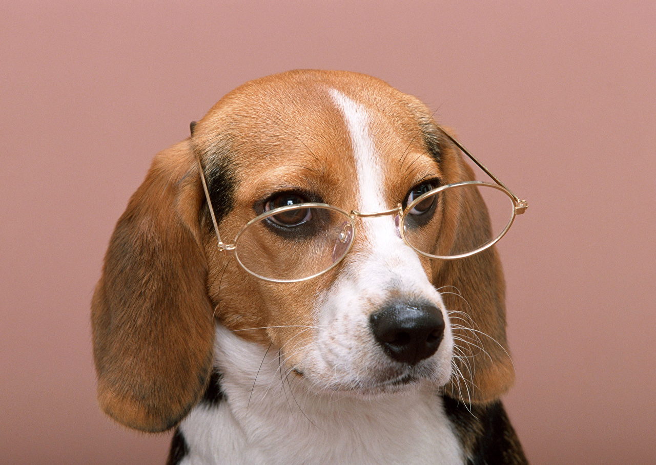 Picture Beagle puppies dog Snout Glasses Animals Colored background Puppy Dogs eyeglasses animal