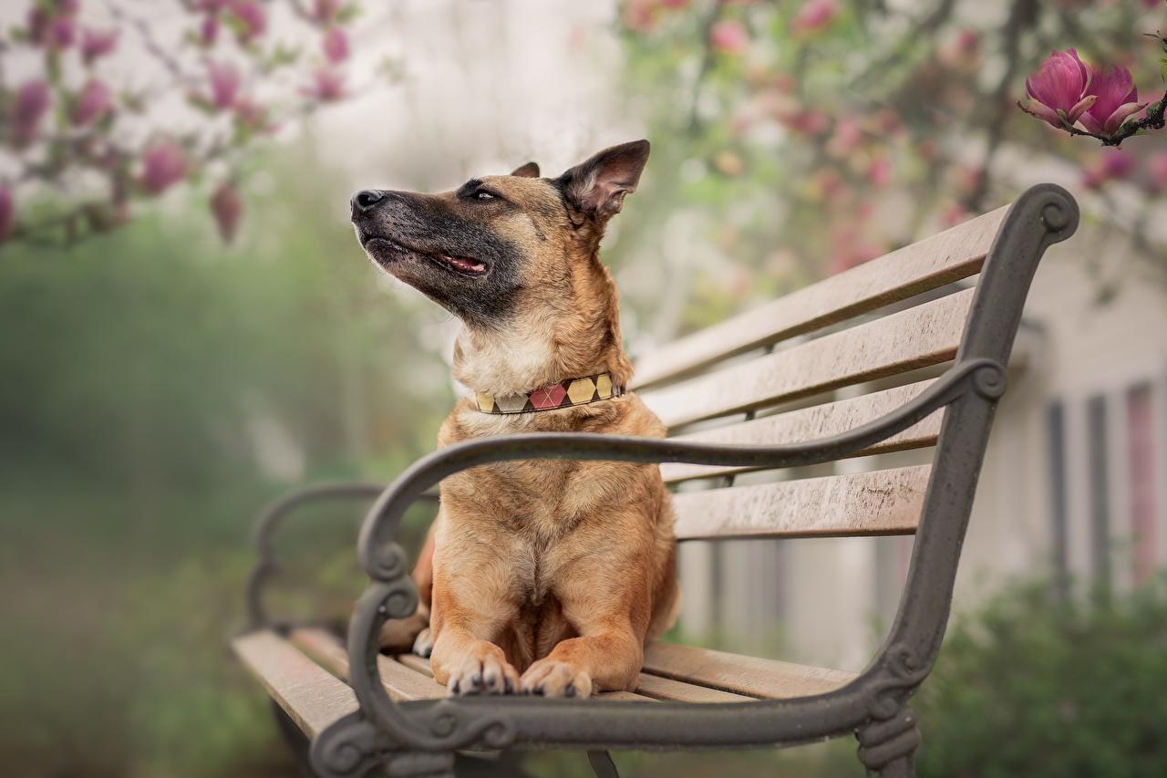 Foto Deutscher Schäferhund Hunde Liegt Bank (Möbel) Tiere hund ruhen Liegen hinlegen ein Tier