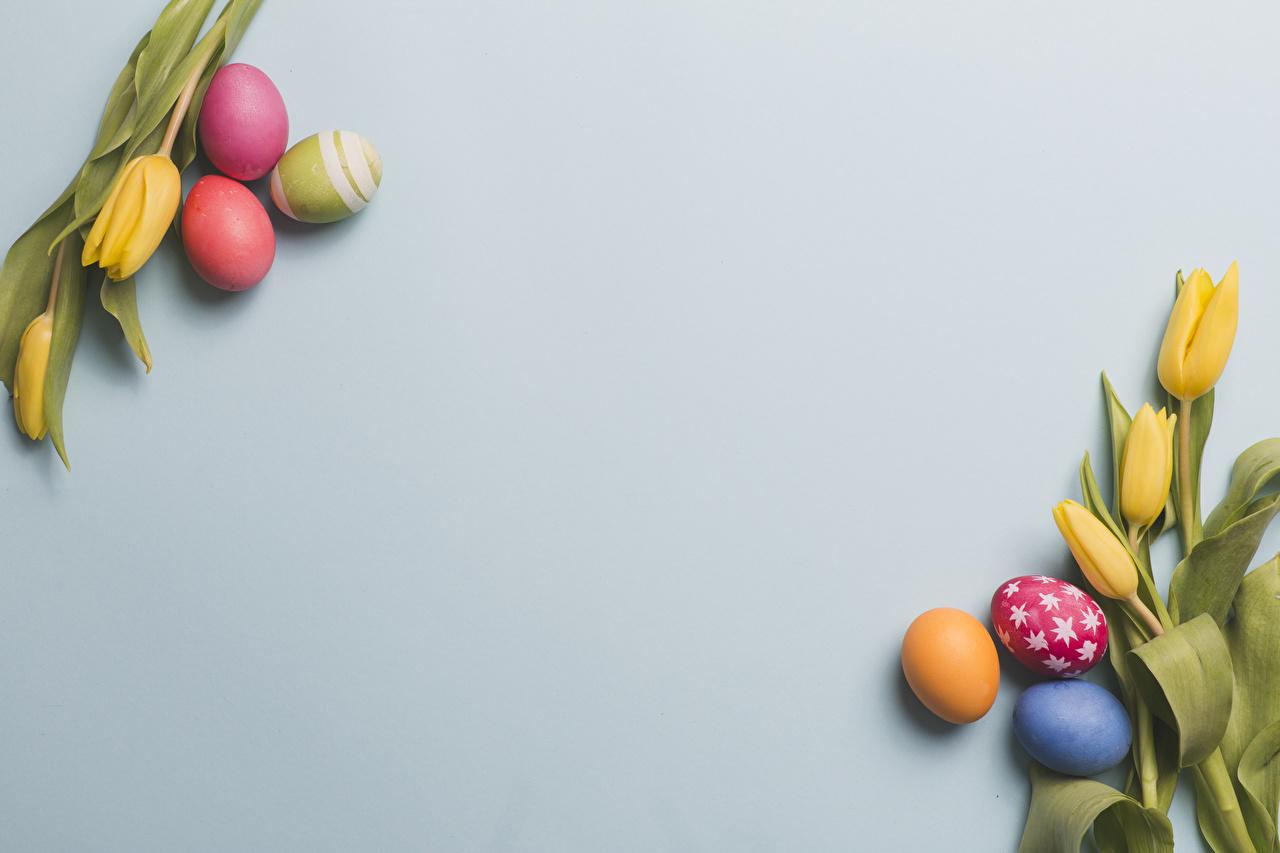 Pascua Tulipas Fondo gris Amarillo Huevo Diseño Tarjeta de felicitación de la plant comida, flor, tulipa, tulipanes, huevos Flores Alimentos