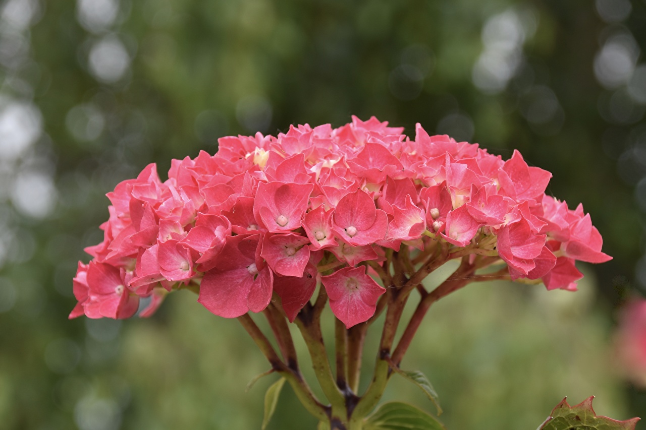 Pictures Bokeh Pink color flower Hydrangea Closeup blurred background Flowers