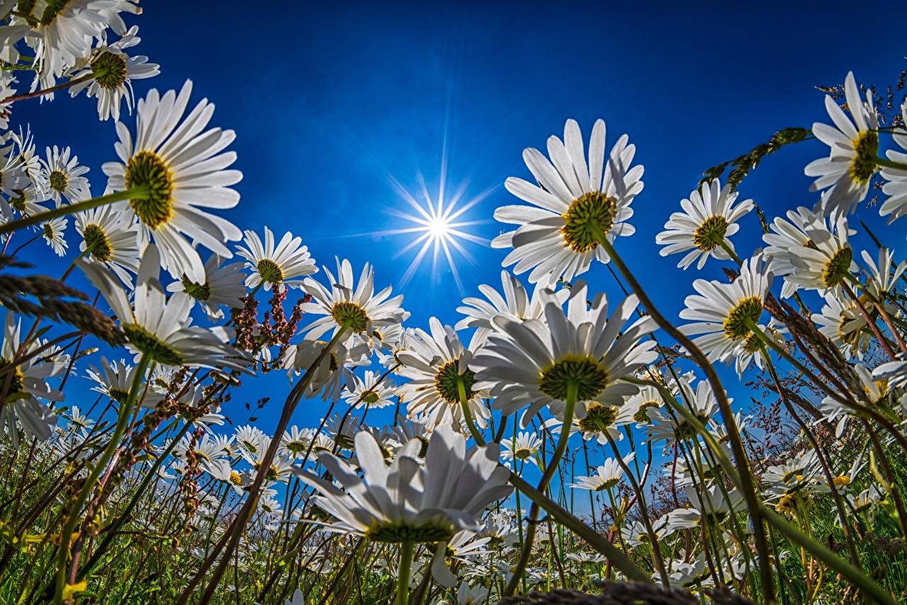 Bilder von Lichtstrahl Untersicht Ansicht von unten Sonne Blüte Himmel Kamillen Grünland Blumen