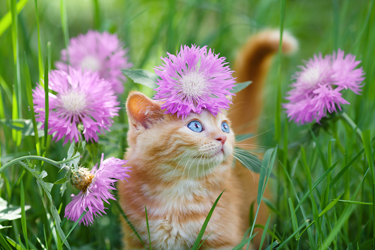 Image Kittens cat Ginger color Grass Centaurea Glance animal kitty cat Cats red orange Cornflowers Staring Animals