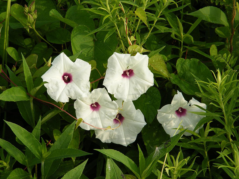Bilder Weiß Blüte Bindekraut Winden Blumen