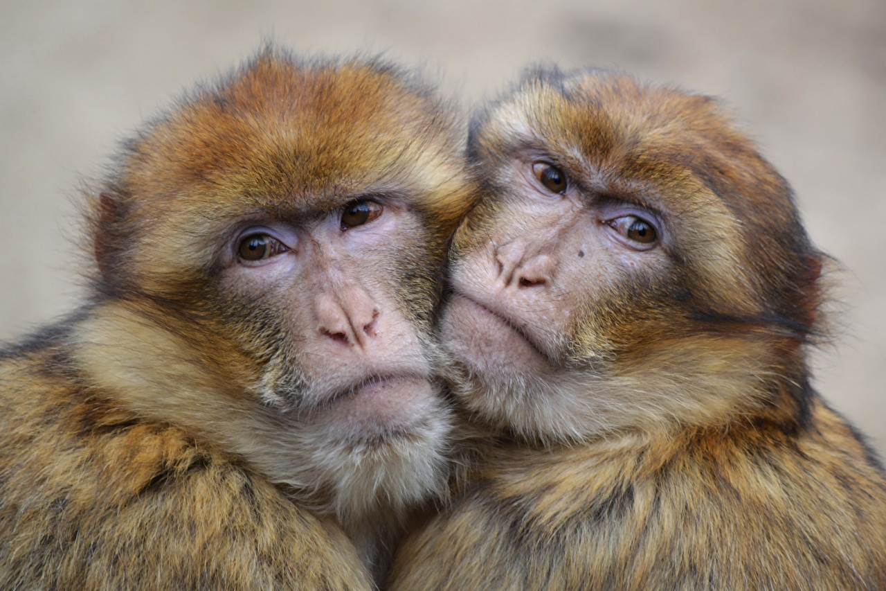 Images Monkeys Two Hug Snout Animals