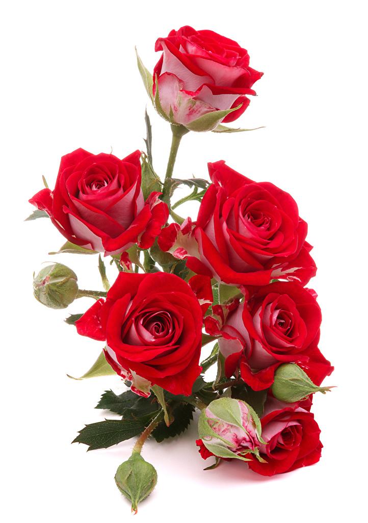 Bilder Rot Rosen Blüte Knospe Weißer hintergrund  für Handy Rose Blumen Blütenknospe