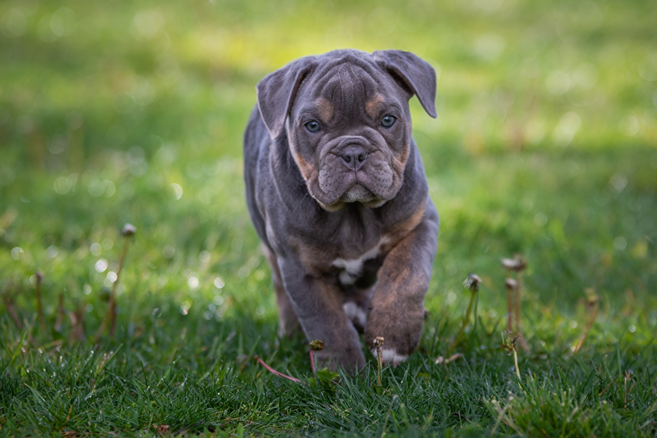 Picture Puppy Bulldog Dogs blurred background Grass animal puppies dog Bokeh Animals