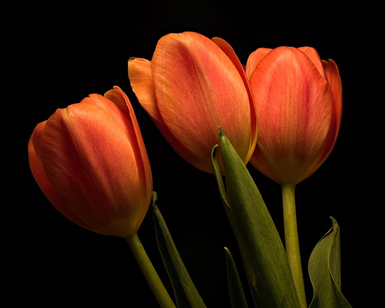 Images Tulips Orange Flowers Three 3 Closeup Black background tulip flower