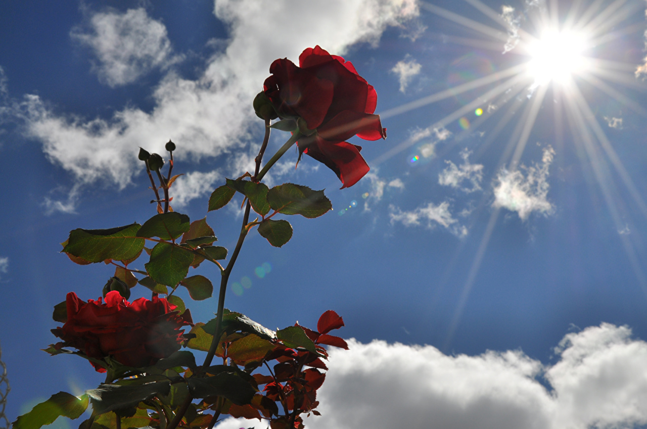 Pictures Sun Roses Wine color Sky Flowers