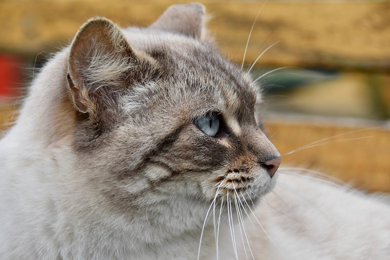 Bilder von Katzen Schnurrhaare Vibrisse Kopf hautnah Starren ein Tier Katze Hauskatze Tiere Blick Nahaufnahme Großansicht