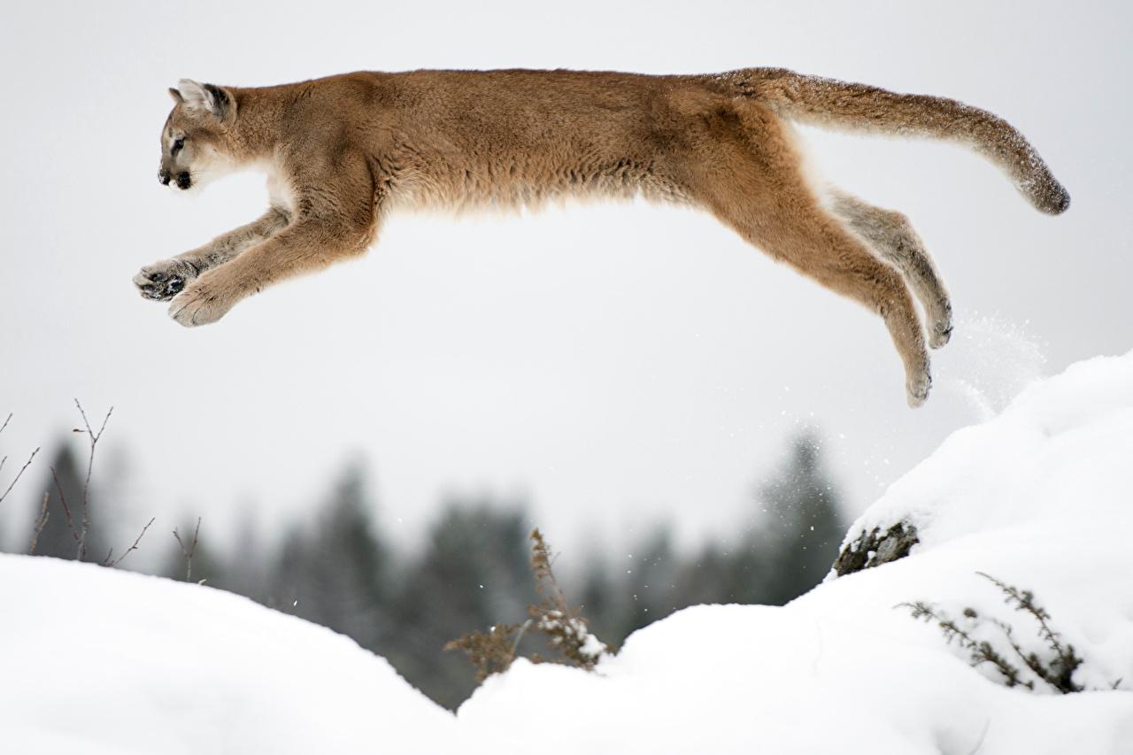 puma saut