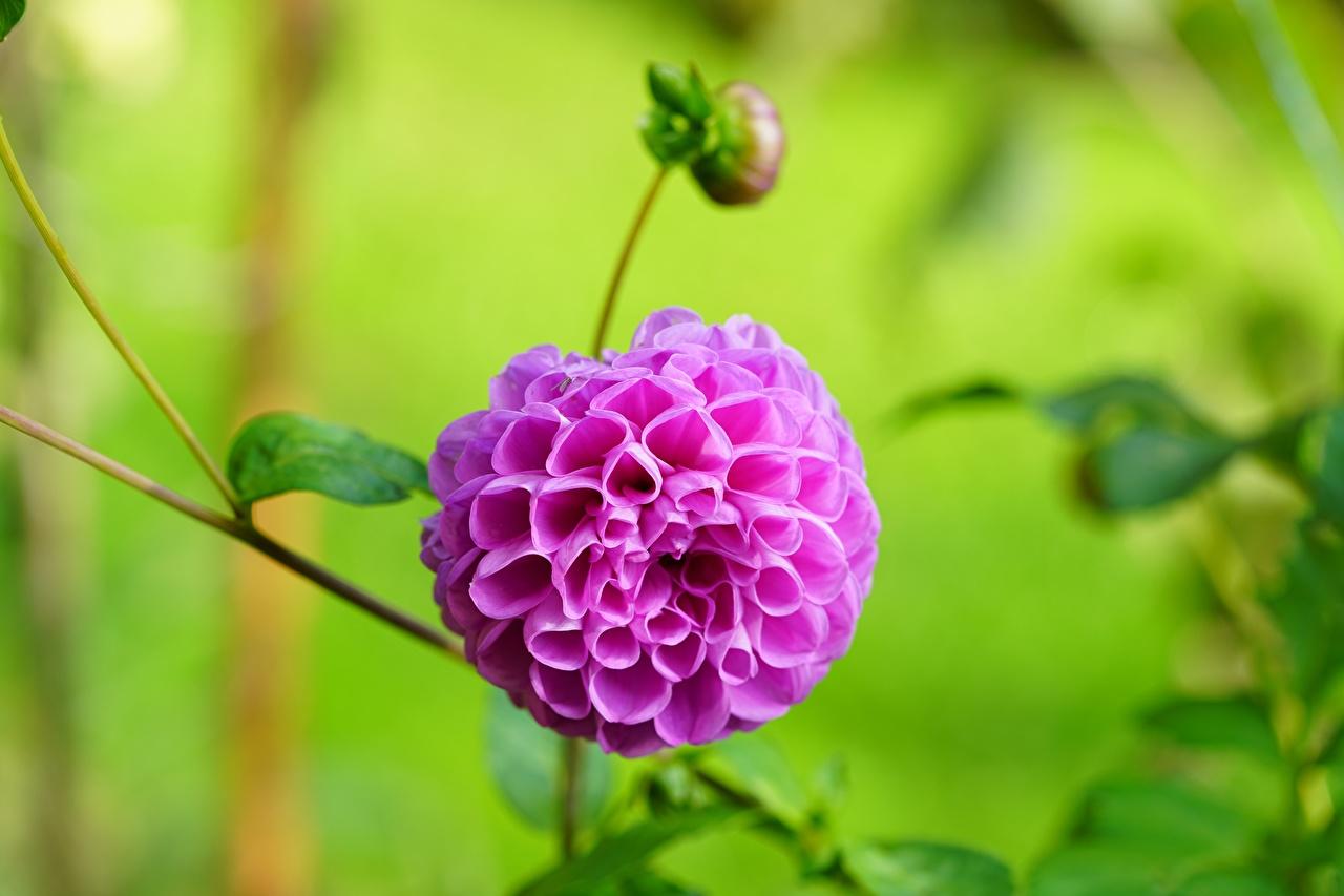 Skrivebordsbakgrunn Bokeh Rosa farge Blomster georgineslekta Nærbilde Blomst knopp uklar bakgrunn blomst Georginer
