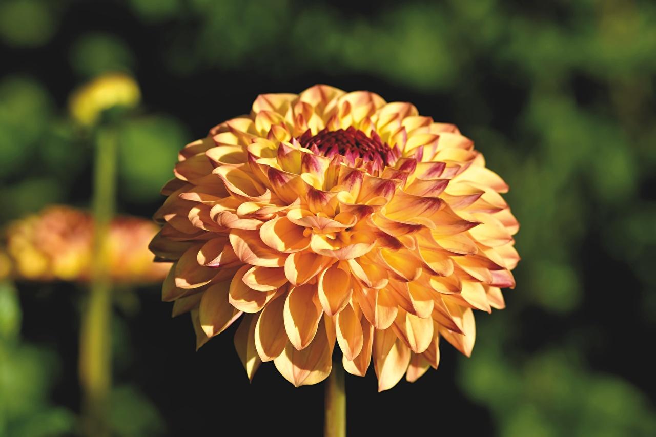 Desktop Hintergrundbilder Bokeh Gelb Blumen Georginen hautnah unscharfer Hintergrund Blüte Dahlien Nahaufnahme Großansicht