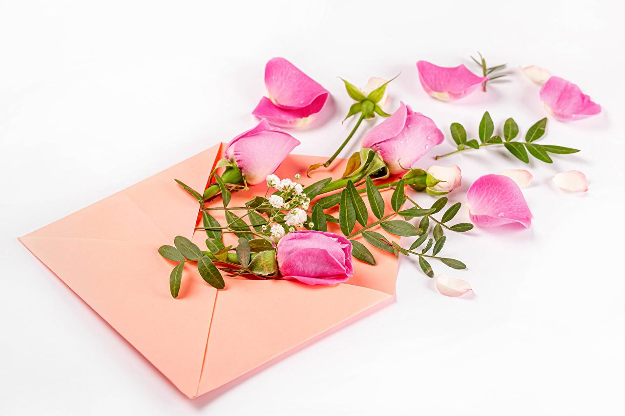 Fotos Briefumschlag Rosen Rosa Farbe Blütenblätter Blumen Weißer hintergrund Rose kronblätter Blüte