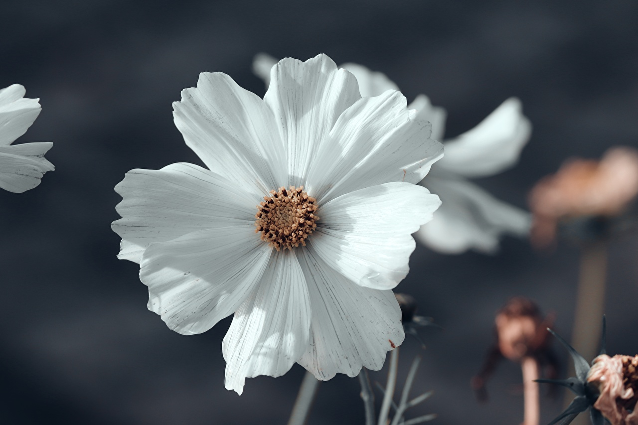 Picture Bokeh White Flowers Cosmos plant Closeup blurred background flower