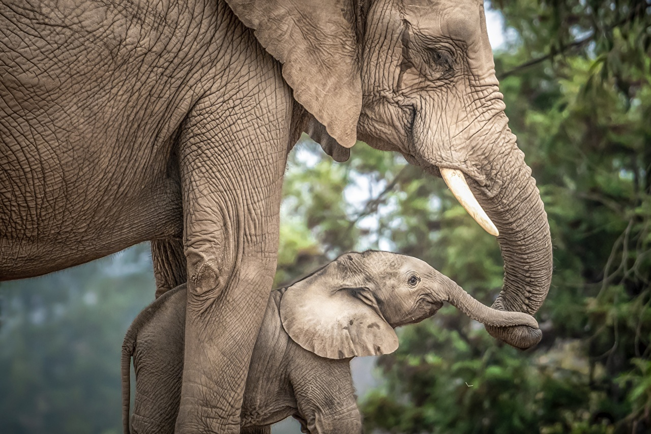 Picture Elephants Cubs Two Animals elephant 2 animal