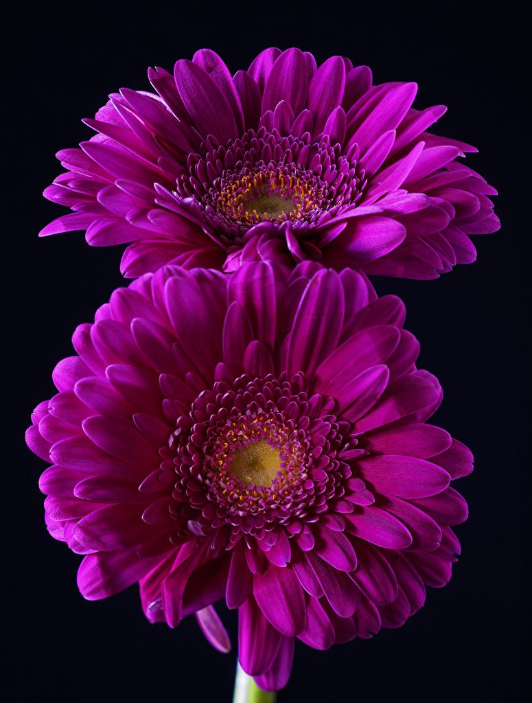 Picture 2 Violet Gerberas Flowers Closeup Black background Two