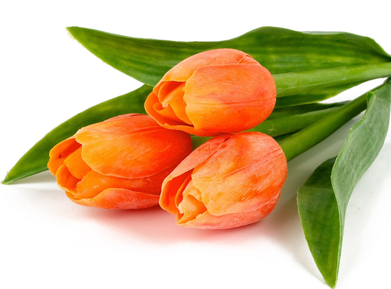 Photos tulip Orange flower Closeup Tulips Flowers