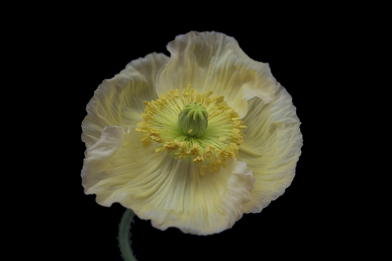 Bilder Iceland poppy Weiß Blüte Mohnblumen Großansicht Schwarzer Hintergrund Mohn Blumen hautnah Nahaufnahme