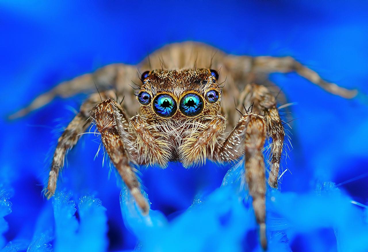 Skrivebordsbakgrunn Hoppeedderkopper Edderkopper Øyne Dyr Nærbilde edderkopp