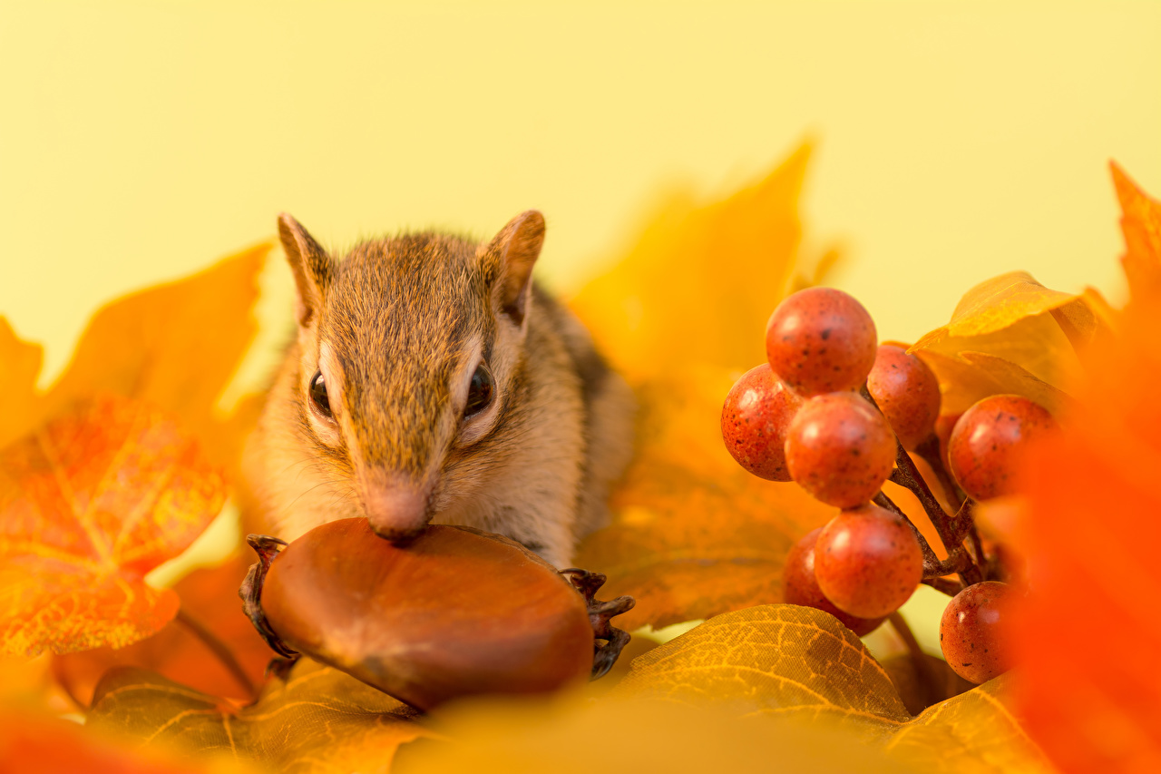 Images Rodents Chipmunks Leaf Autumn Grapes Nuts Animals Foliage animal