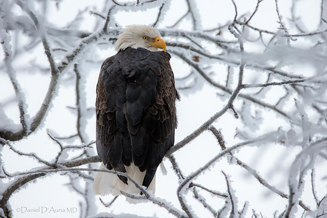 Desktop Wallpapers bird eagle Snow Branches animal Birds Eagles Animals