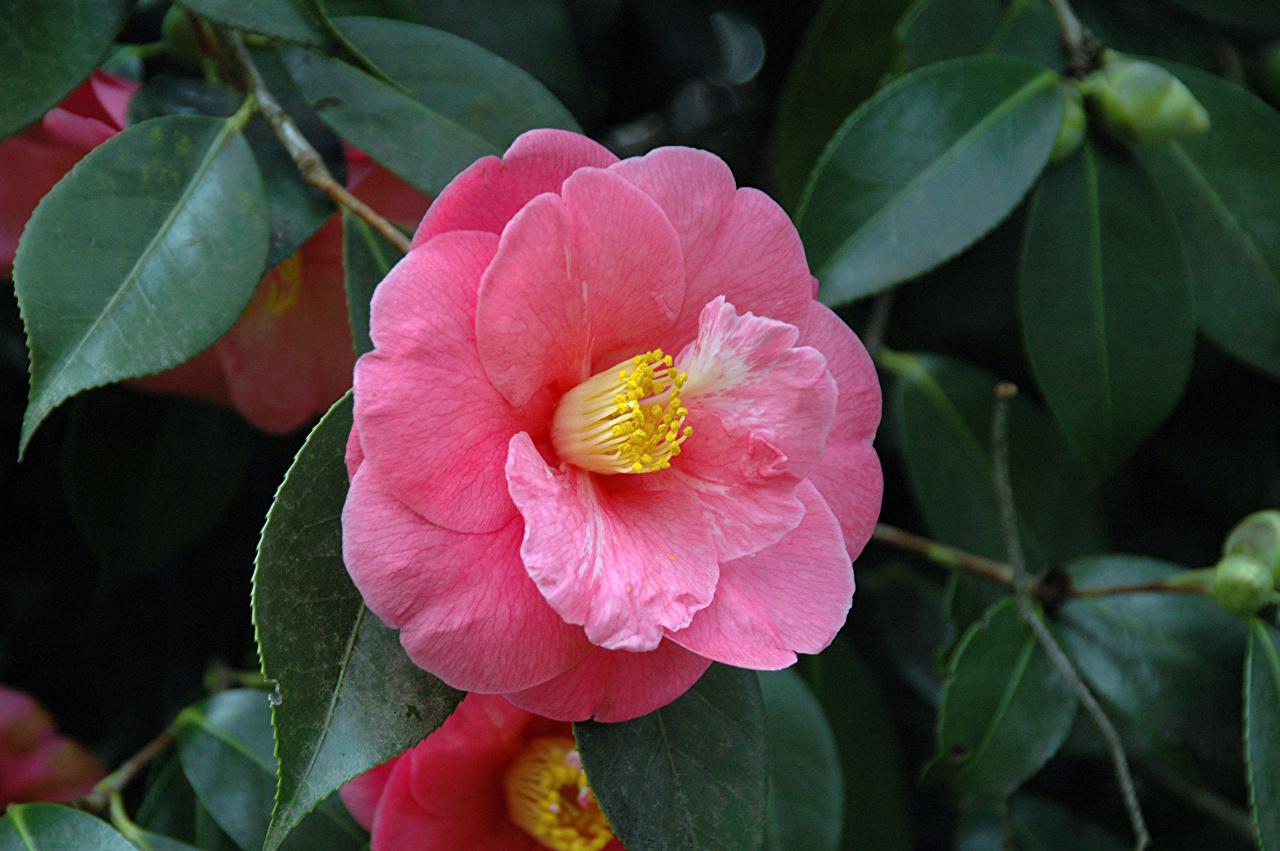 ,特寫,山茶属,粉红色,葉,花卉,
