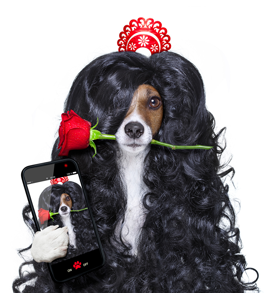Desktop Wallpapers Animals Hair Dogs Funny Jack Russell terrier smartphones rose White background curls Selfie animal dog Smartphone Roses Curly
