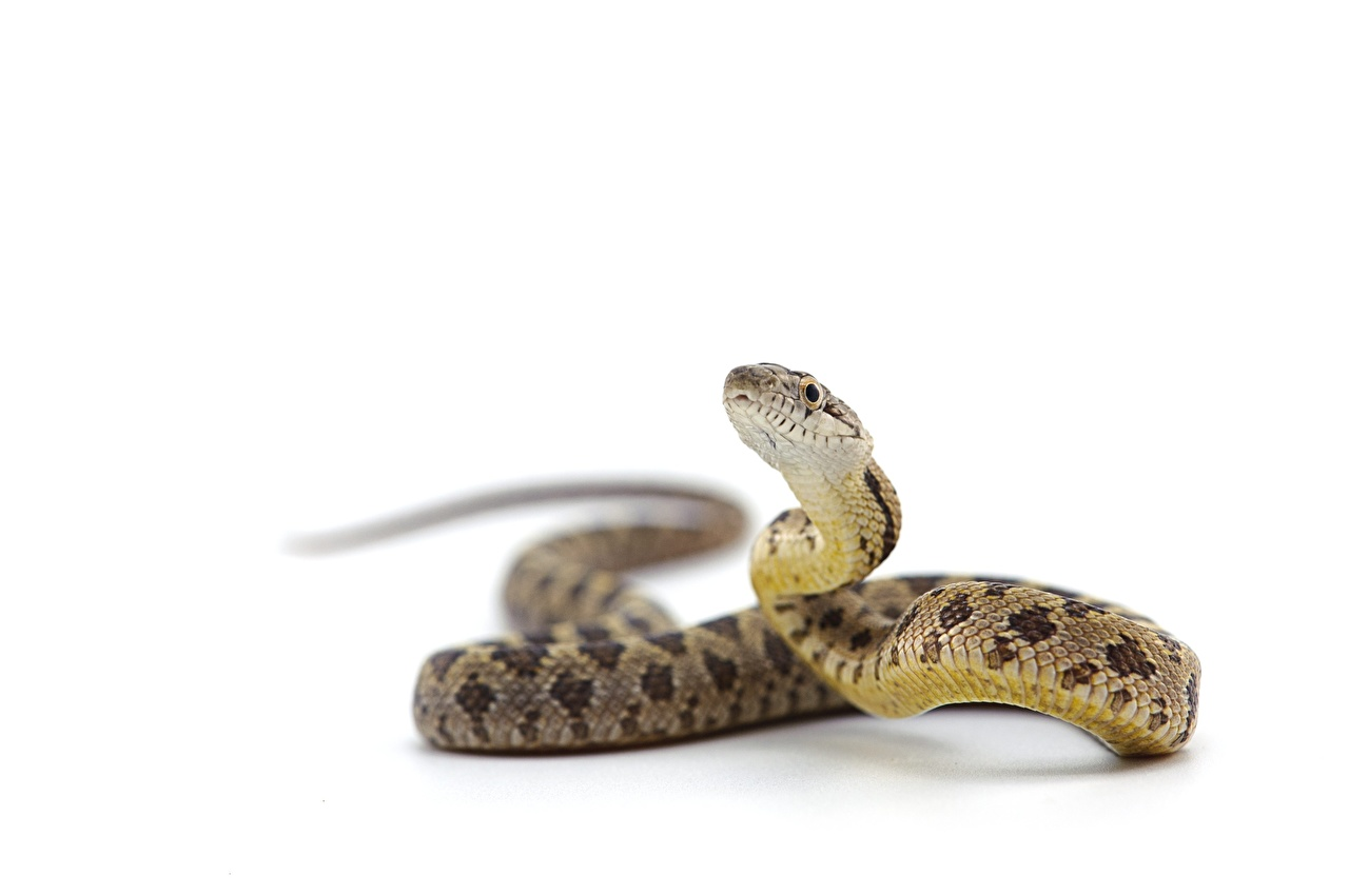 Images Snakes Reptiles Rat Snake Head Animals White background snake animal