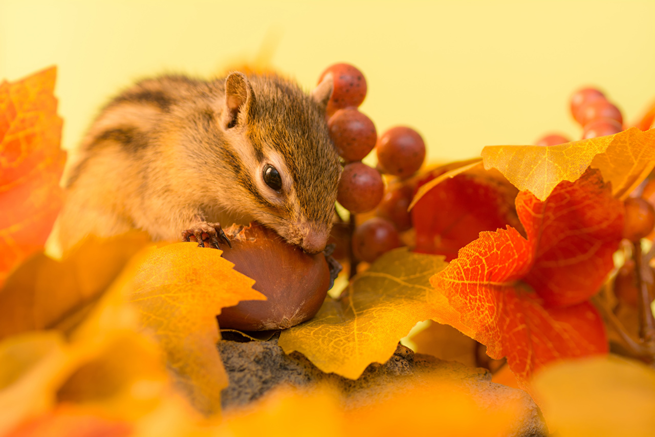 Image Rodents Chipmunks Leaf Autumn Grapes Nuts animal Foliage Animals