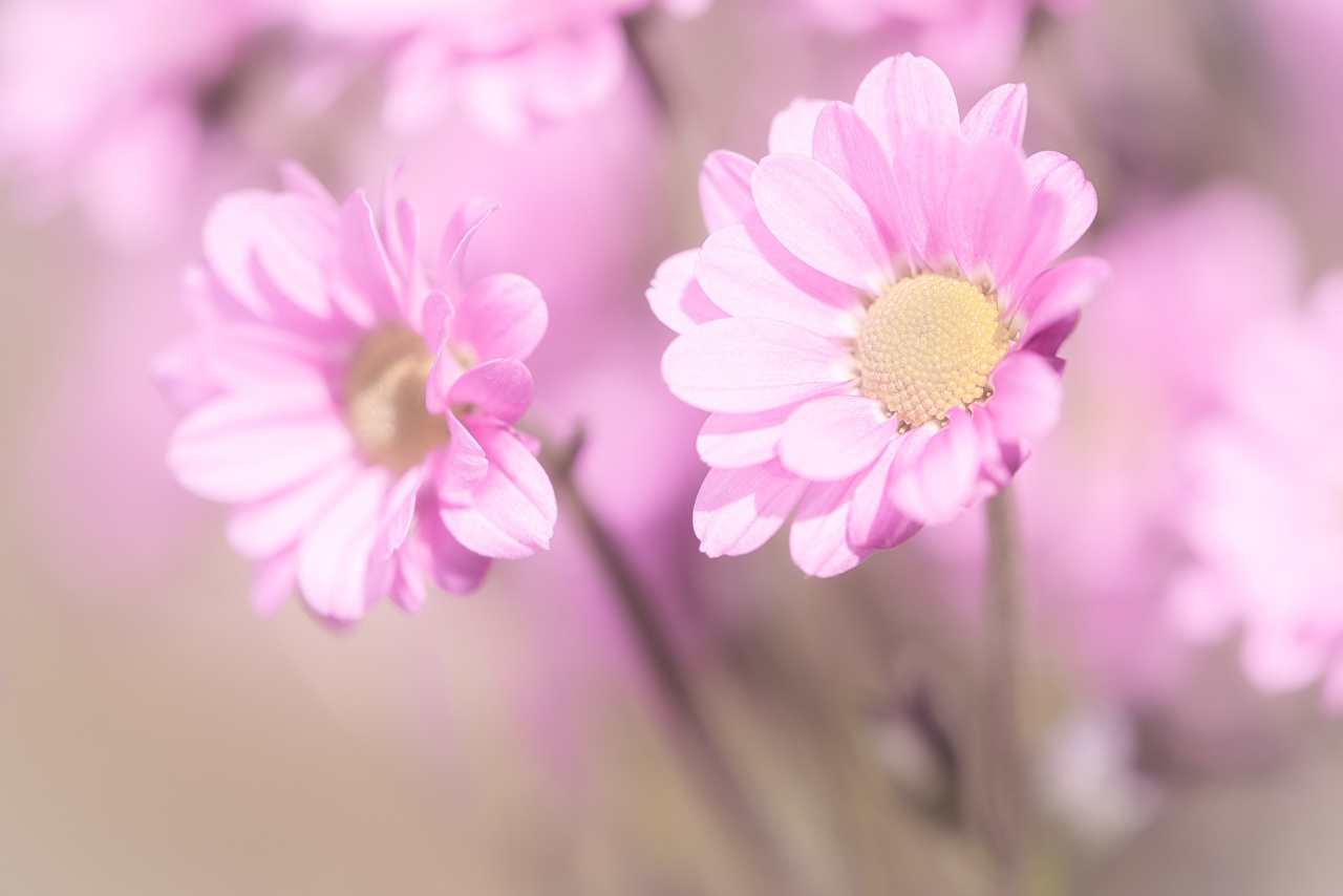 Desktop Hintergrundbilder Bokeh Rosa Farbe Blumen Kamillen Nahaufnahme unscharfer Hintergrund Blüte hautnah Großansicht