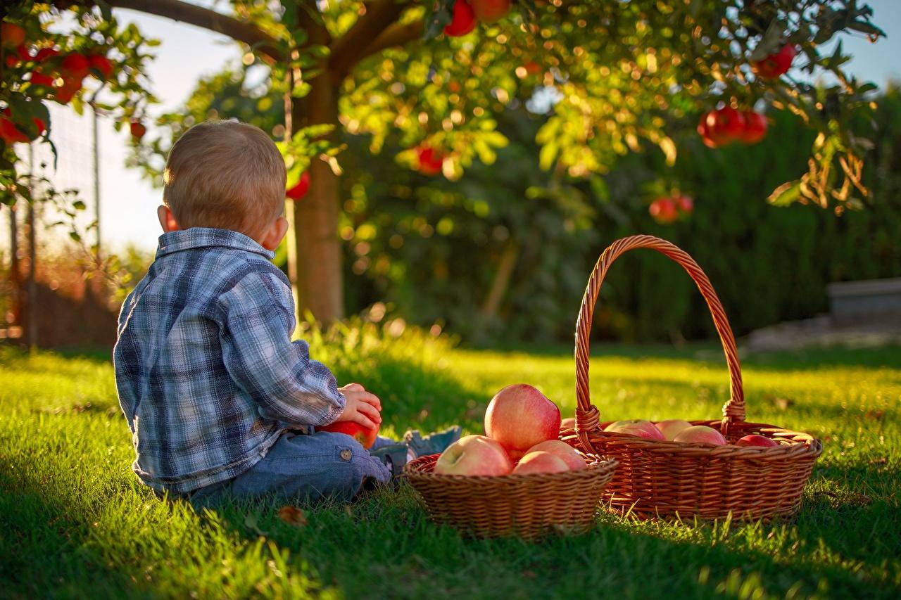 Picture Boys child Apples Wicker basket sit Grass Children Sitting