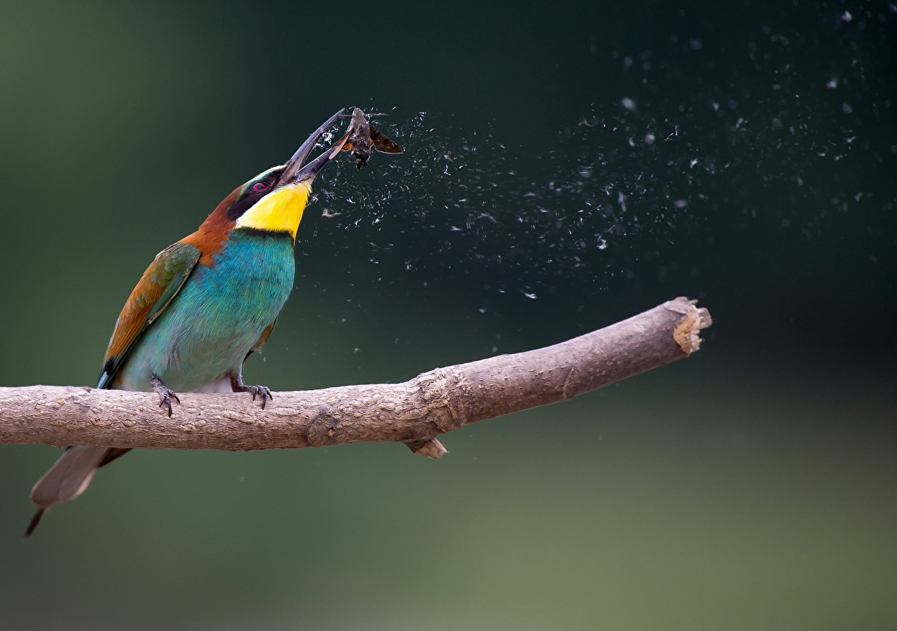 Picture bird Hunting European bee-eater, Moth Branches animal Birds hunt Animals