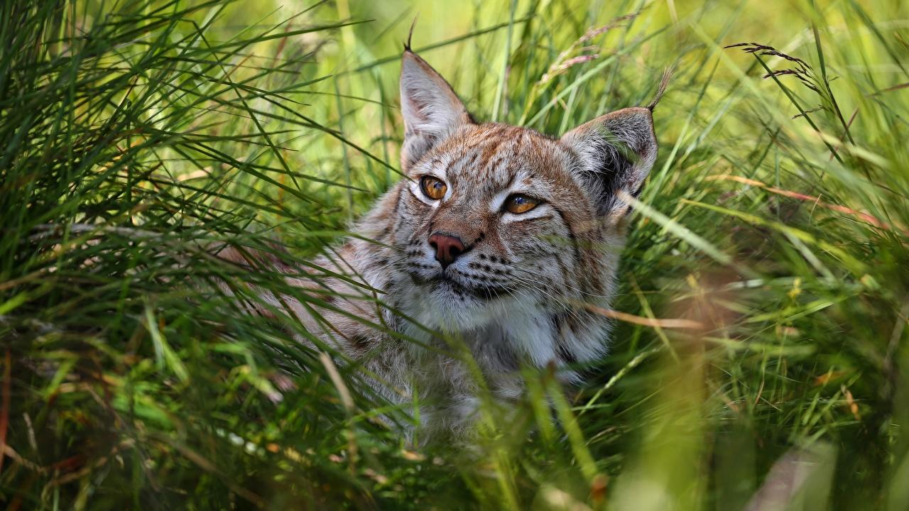 Bilder von Luchse Gras Tiere Blick Starren