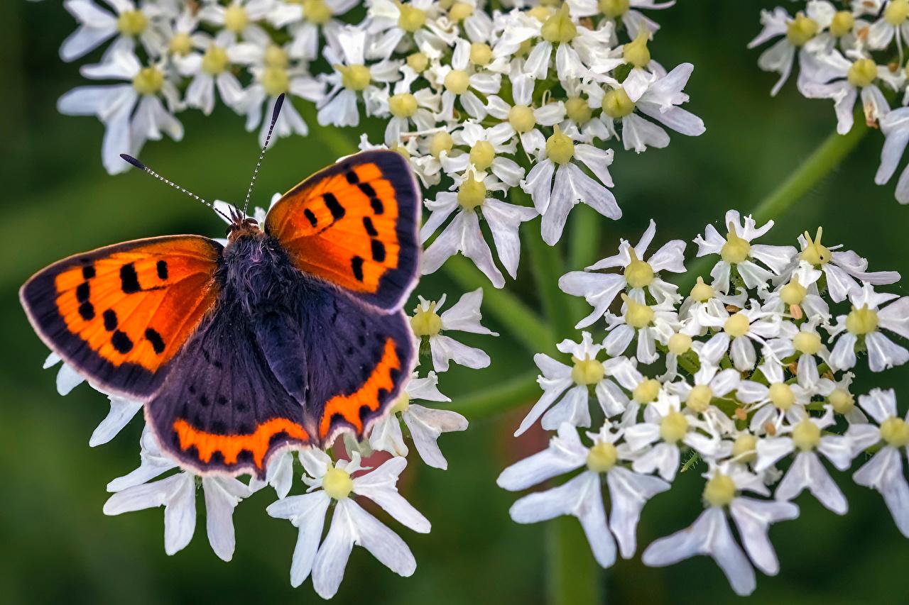 Afbeeldingen vlinder Insecten small copper Dieren Close-up Vlinders een dier van dichtbij