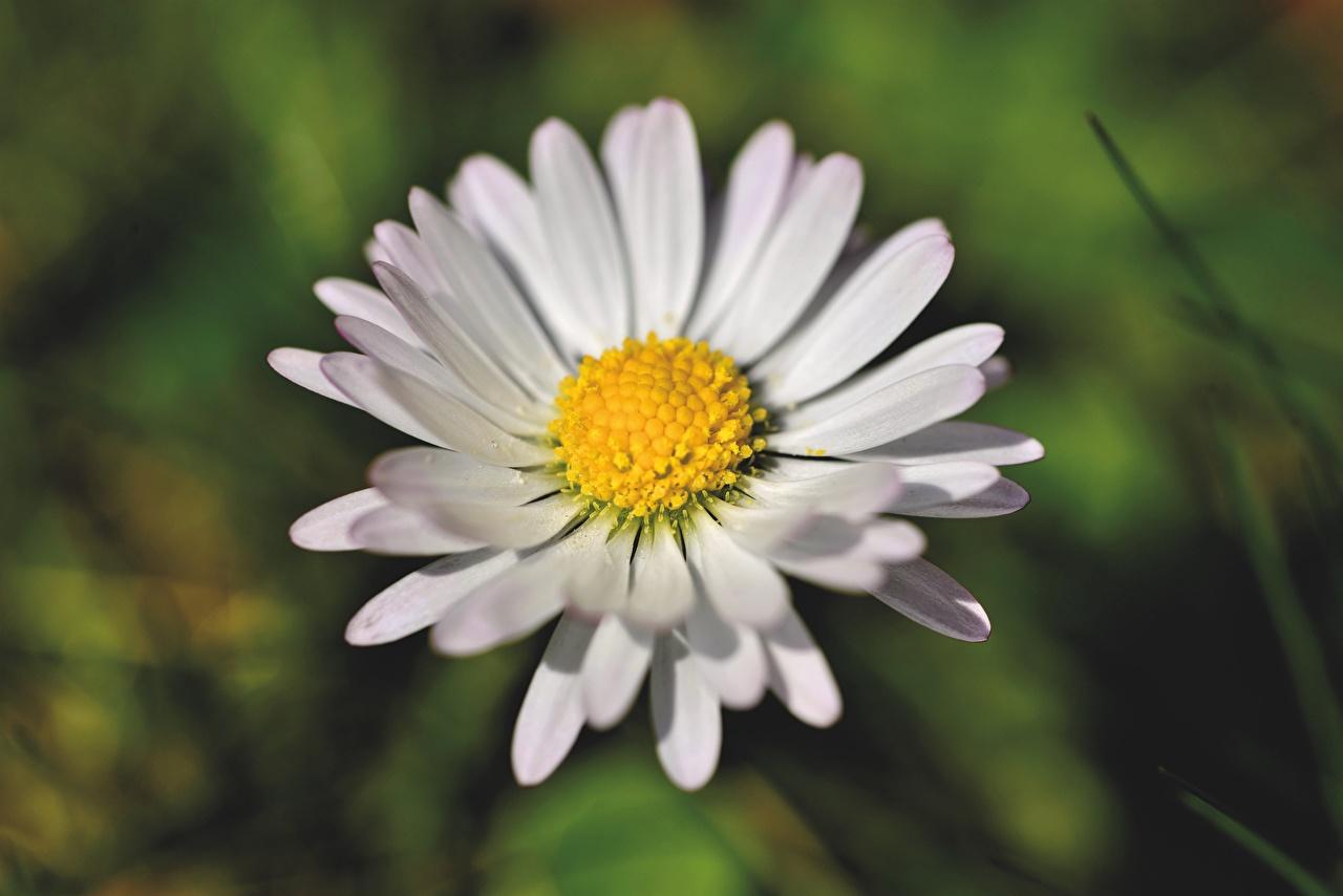 Desktop Wallpapers Bokeh White Flowers matricaria Closeup blurred background flower Camomiles