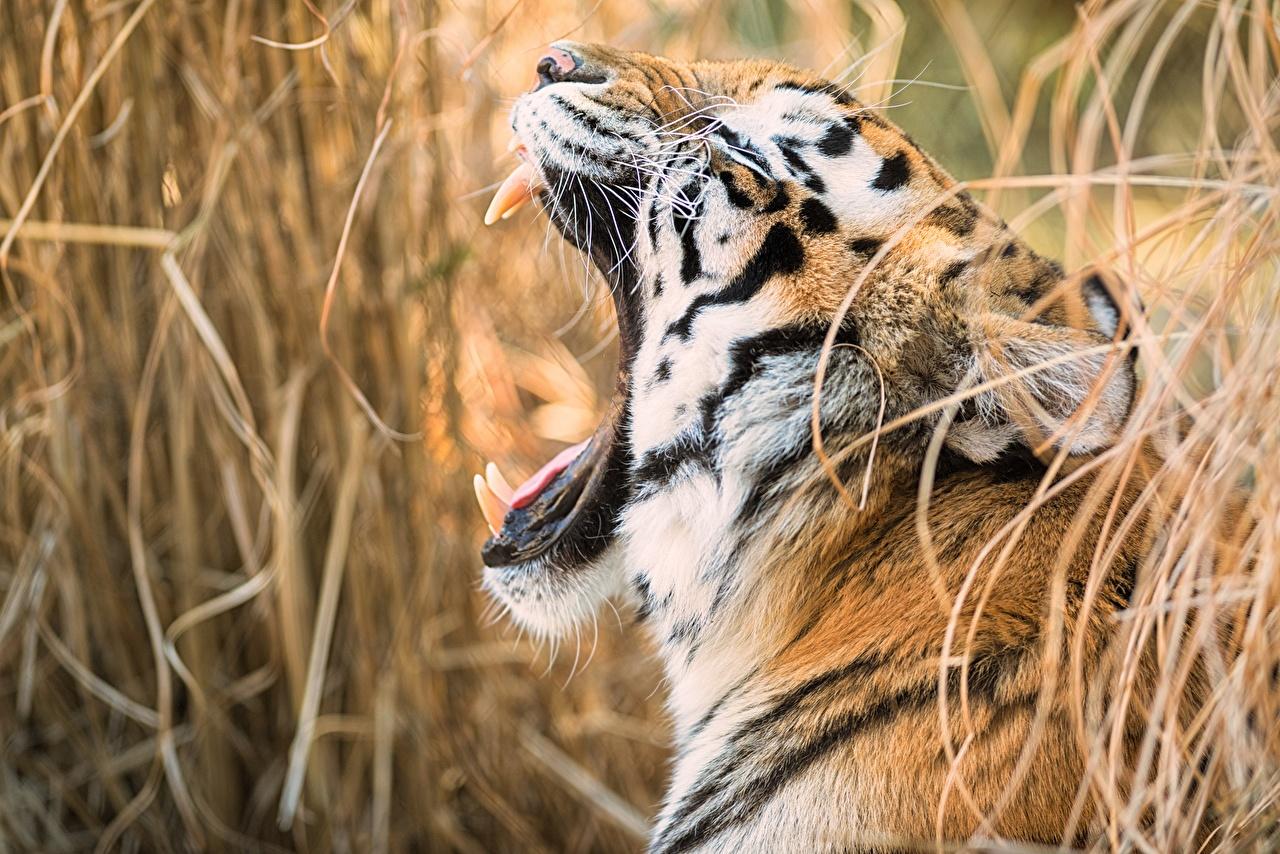 Fotos Tiger Eckzahn Gähnt Schnurrhaare Vibrisse Kopf ein Tier gähnen gähnende Tiere
