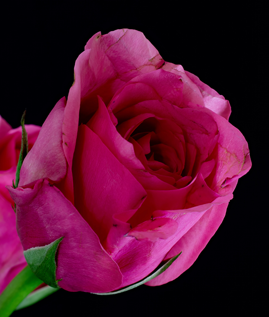 Bilder von Rose Rosa Farbe Blumen Nahaufnahme Schwarzer Hintergrund Rosen Blüte hautnah Großansicht