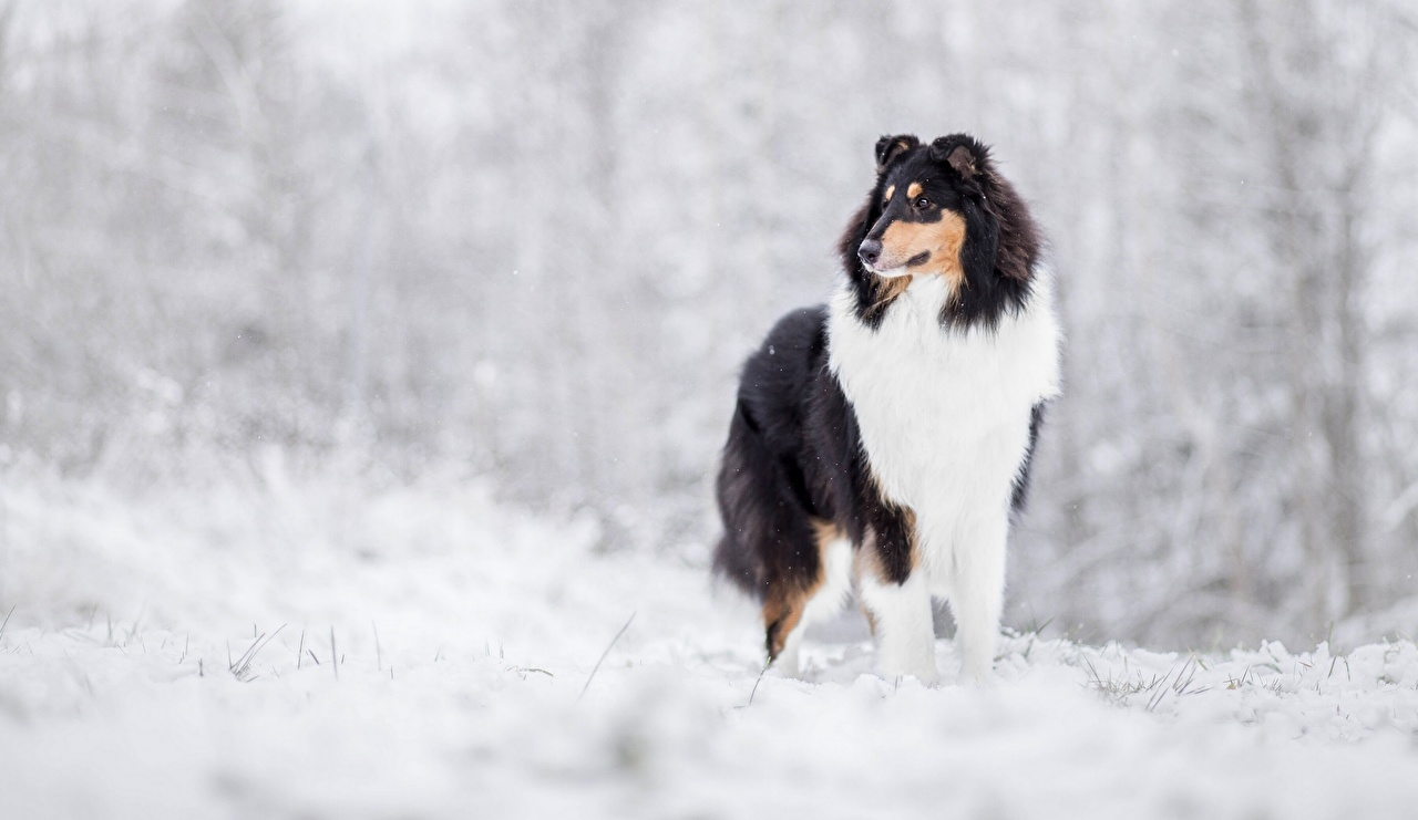 Images Collie Dogs Winter Animals dog animal