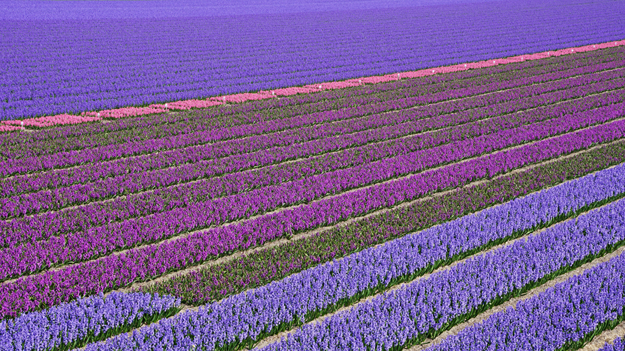 Wallpaper Netherlands Lisse Multicolor Fields Flowers Hyacinths Many flower