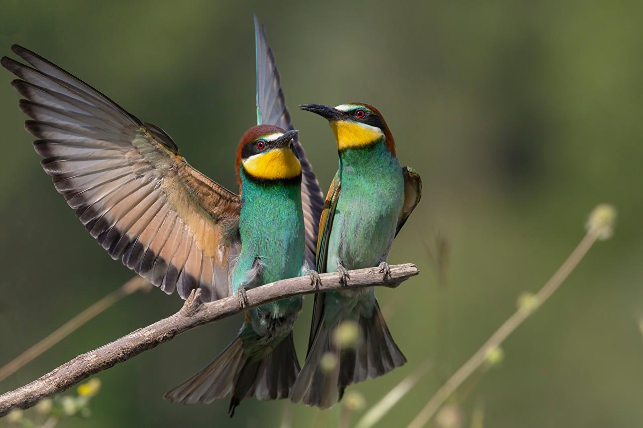 Bilder Vögel Flügel Merops apiaster Zwei Ast Tiere Vogel 2 ein Tier