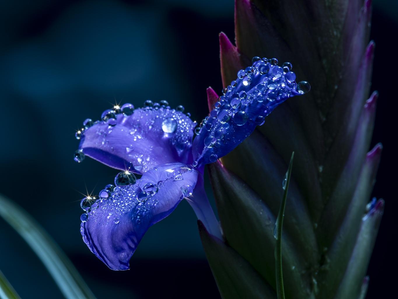Fotos von Bokeh Blau Blumen Tropfen Schwertlilien Nahaufnahme unscharfer Hintergrund Blüte hautnah Großansicht