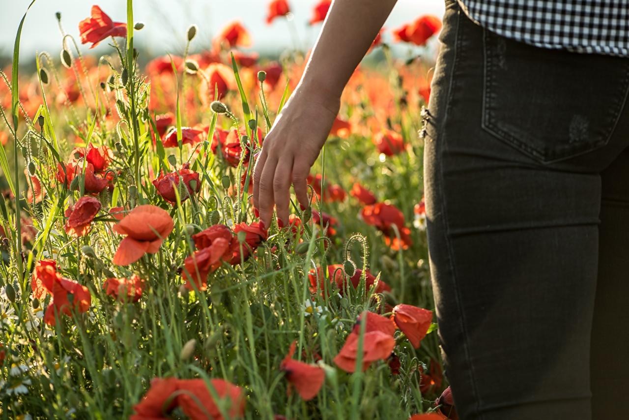 Tapeta Czerwony mak Kwiaty Ręce Pąk Maki kwiat