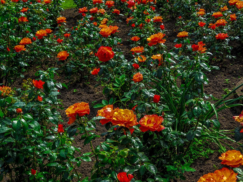 Images rose Orange Flowers Bush Roses flower Shrubs