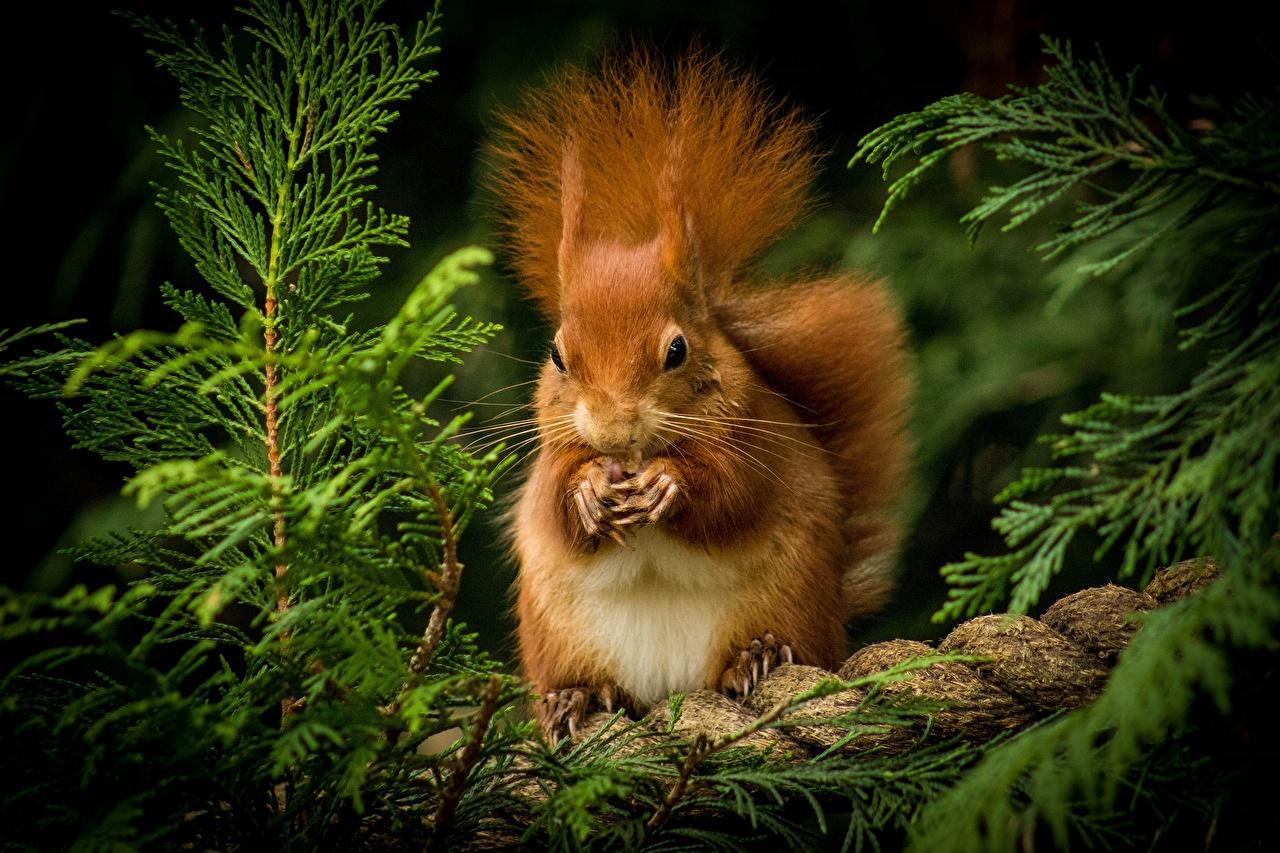 Bilder von Hörnchen Nagetiere ingwer farbe ein Tier Eichhörnchen Fuchsrot orange rot Tiere