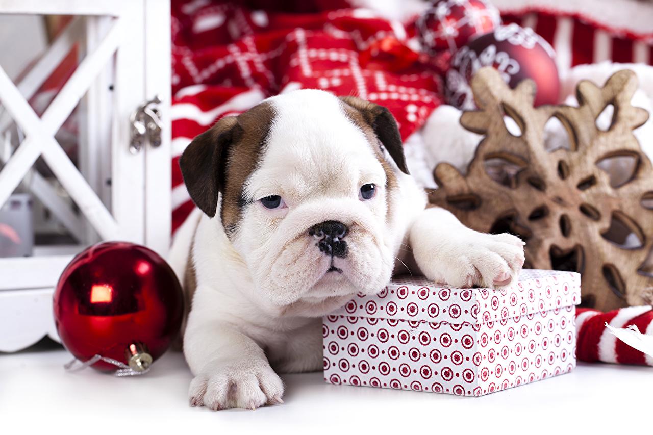 Image Puppy Bulldog dog Christmas Balls Animals puppies Dogs New year animal