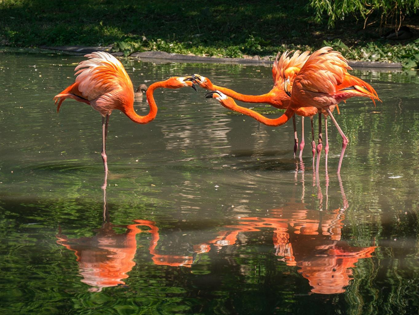 Image bird Flamingo Orange Pond Three 3 Animals Birds animal