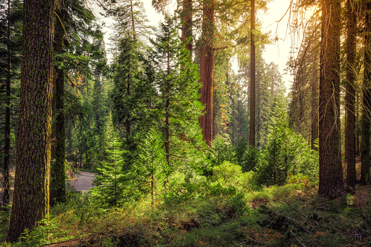 Images California USA Kings Canyon National Park Nature Spruce Parks Forests Trees