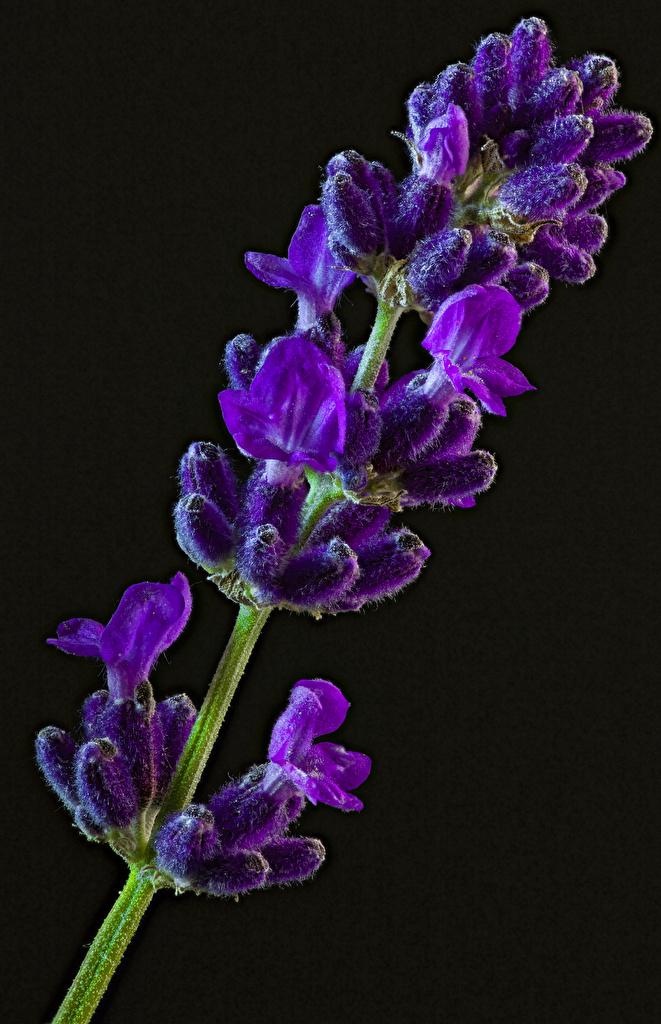 Foto Violett Blüte Lavendel hautnah Schwarzer Hintergrund  für Handy Blumen Nahaufnahme Großansicht