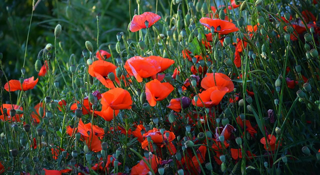 Tapeta na pulpit Czerwony mak kwiat Pąk Dużo Maki Kwiaty wiele