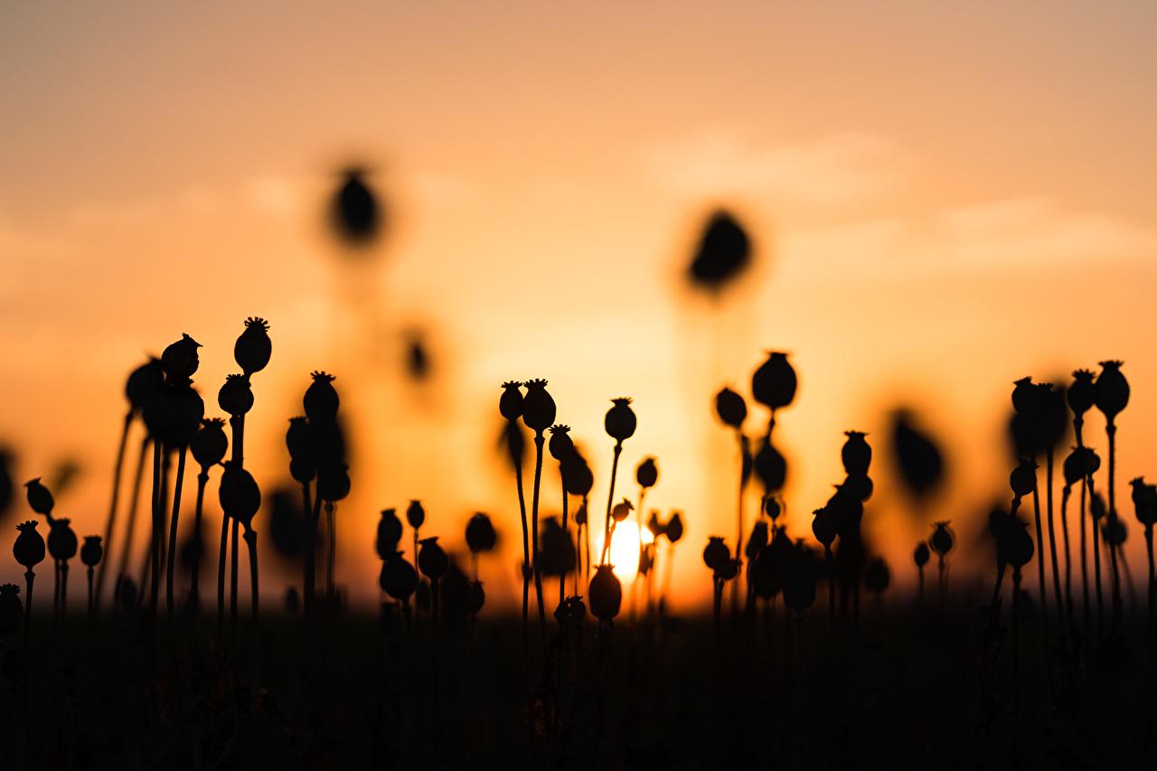 壁紙 朝焼けと日没 ポピー シルエット 自然 ダウンロード 写真